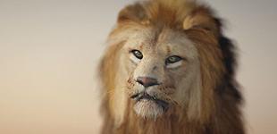 safari_lion
